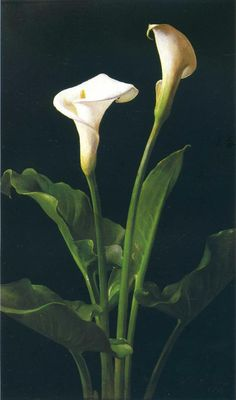 lambdin calla lilies « Lambdin George Cochran « Artists « Art might - just art Calla Lily Flowers, Calla Lillies, Rare Flowers, Botanical Flowers, Botanical Art, Beautiful Flowers, Rose Oil Painting, Beautiful Paintings, Watercolor Flowers