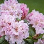 Common problems with Rhododendron plants