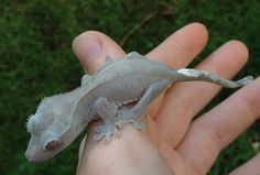 Crested Gecko Moonglow Black and white crested gecko Cute Reptiles, Reptiles And Amphibians, Crested Gecko Care, Cute Gecko, Exotic Pets, Unusual Pets, What Dogs, Outdoor Dog, Cute Animals