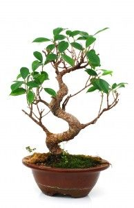 This is a great page on golden gate ficus bonsai care. Learn how to care for and where to buy this awesome bonsai with unique bark. This tree is not only perfect for beginners, but must also be included in every experts' collection!