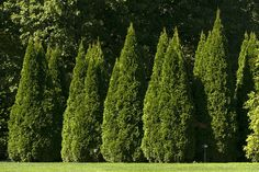 Thuja Green Giant The Perfect Privacy Screen Hedge And Sound Barrier To Road Noise