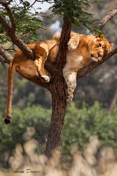 """Lioness on the Tree"""