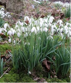 Galanthus Caucasicus - A snowdrop miscellany