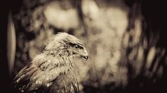 """The buzzard no. 3: """"Contemplation."""""""