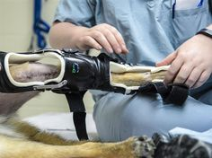 Military Working Dog SStash gets outfitted with his new modified leg brace at the Holland Military Working Dog Hospital on Joint Base San Antonio-Lackland, Texas, April 2, 2015. Because his injury resulted in inactivity, SStash suffered severe muscle loss in his leg. His original leg brace no longer fit him properly, so it was modified by the 59th Medical Wing Orthotic Lab. (U.S. Air Force photo/Staff Sgt. Michael Ellis)