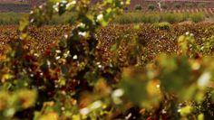 Los técnicos de la DOP Utiel-Requena han presentado ante el Consejo Regulador un informe que señala que estamos ante una cosecha un 23% mayor que la de 2014, mientras que la calidad de la uva hace esperar una campaña ilusionante.
