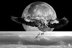 Heron and Moon Heron, Writing, Animals, Animaux, Herons, Animales, Being A Writer, Animal, Dieren