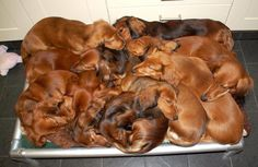 A pile of #Dachshunds <3