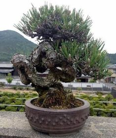 Bonsai should be kept outdoors unless the species can grow indoors.