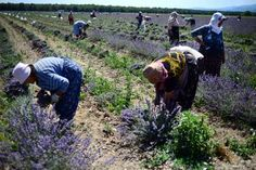 Quality key as Bulgaria claims France's lavender crown