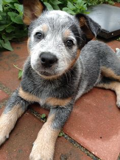 The best picture I've ever taken and she is adorable Cute Dogs And Puppies, Baby Dogs, Austrailian Cattle Dog, Baby Animals, Cute Animals, Blue Heelers, Cattle Dogs, Cute Cats And Kittens, Dog Pictures
