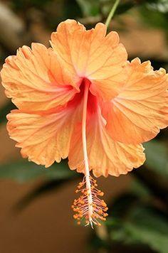 Hibiskus #flower power #blumenprint #blumenpracht