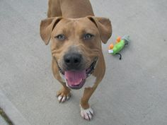 TO BE DESTROYED-10/21/13 Brooklyn Center-P~HANDSOME~ID #A0981343. Male brwn pit bull mix. 1 YR. STRAY on 10/07/2013. Handsome IS STILL A PUPPY!!! He's strong & active. Some leash pulling, but sociable! Playful & wagging his tail. Some minor guarding w/ food (stray survival-retrainable), but NO aggression. No problems w/ bones/toys. Rushed in to greet helper dog, but friendly. Let's get this sweet boy safe, & on the road to a forever home!