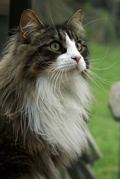 "This ""Mr Boots 63 ~ Maine Coon Cat"" looks just like our ""Boots"". I loved that cat. He was either a Maine Coon or a Norwegian Forest Cat mixed Breed. His markings were gorgeous ... like this one."