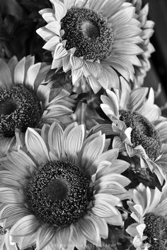 Sunflower Pictures Black And White Pinned By Cecilia Acevedo