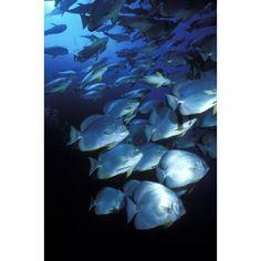 Schooling Circular Batfish Ras Hohammed Red Sea Egypt Scuba Diving Underwater Canvas Art - Alex Misiewicz Design Pics (12 x 18)