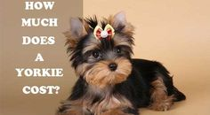 One of the most common questions that future Yorkshire terrier owners ask is about the Yorkie price