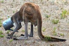 Teneri cuccioli Notizie: Australia, la disavventura del canguro assetato: i...