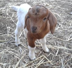 Tiny baby goat!