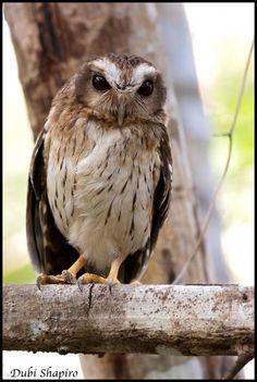 Cuban Screech-Owl (Gymnoglaux lawrencii) photographed by Dubi Shapiro at Barmejas Forest Reserve, Mantanzas Province, Cuba on 28th November 2014