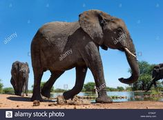 African elephants (Loxodonta africana) at waterhole, Madikwe Game Reserve, North West Province, South Africa, Africa Stock Photo