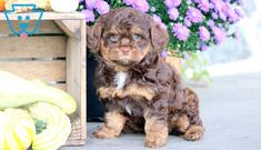 Baby Cakes | Cockapoo Puppy For Sale | Keystone Puppies