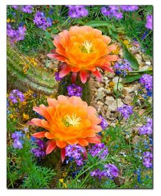 ORANGE TORCH CACTUS FLOWER Tucson AZ @desertphotography  $27 #looksgoodonya
