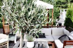 ikea,puutarha,piha,terassi,oliivipuu
