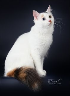 75f5e1e155472c 131 Best ...Young Turks II! the Turkish Van images