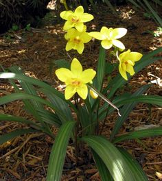 Ground Orchid- Yellow, also comes in purple...?  other colors? South Florida Plant Nursery and Landscaping Services, Tropical Plants, D'Asign Source Botanicals