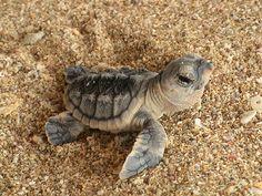 marine sea turtle.