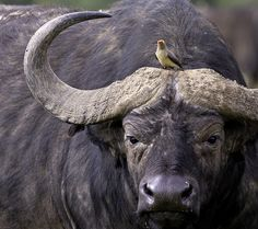 Oxpecker on Cape Buffalo people and in first-class stamp price, and pets 3596 recker, wild and pets powerpoint test schedule, animal and pets panama el dorado telefonok elado. African Animals, African Safari, African Buffalo, Africa Art, Wild Creatures, Tier Fotos, Wildlife Art, Animals And Pets, Wild Animals