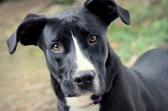 Meet Jersey, a 1-year-old Labrador Retriever who is ready to go home with you for the holidays. This incredibly handsome guy is athletic and one smart cookie. He is perfect to go out on hikes in the summer, and just as likely to keep your toes warm on a winter night. Jersey was ADOPTED! from Seattle Humane, December 2016