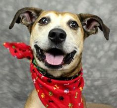 Meet Toby, a 5 years 2 months old male neutered Whippet / Mix available for adoption in Louisville, KY. I came to the Kentucky Humane Society from another shelter. The staff are still learning all about me. I miss being in a home and have a lot of love to give. http://www.petango.com/Adopt/Dog-Whippet-23138480