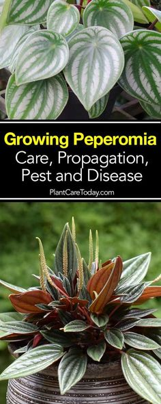 """The Peperomia houseplant or """"Baby Rubber Plant,"""" easy to grow, over 1000 species. Tips on growing Peperomia houseplants, including advice on propagation."""