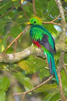 Quetzal--the national bird of Guatemala--a traditional symbol of liberty because the quetzal cannot be bred or held in captivity; it is noted to kill itself after being captured. Tropical Birds, Exotic Birds, Colorful Birds, Polo Sul, Polo Norte, Cute Birds, Pretty Birds, Animals And Pets, Cute Animals