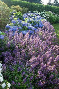 "Catmint (Nepeta X faassenii ""Six Hills Giant"") with blue hydrangeas. A great combo"