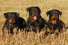 Once nearly extinct, the Rottweiler has become one of the most popular dog breeds. The Rottweiler is, perhaps also, one of the most misunderstood. Raza Rottweiler, Rottweiler Dog Breed, Rottweiler Facts, Rottweiler Training, Big Dogs, Cute Dogs, Top 10 Dog Breeds, Dog Training, Dog Breeds