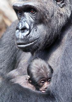 Il piccolo gorilla che dorme in una mano (ansa-repubblica.it)