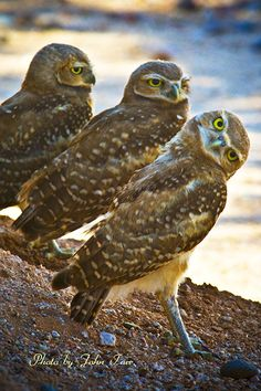 (Photo Art for sale)  Three Baby Burrowing Owls on the Lookout ---- bird, birds, owl bird, Burrowing Owl, 3 Burrowing Owls, avian, ornithology, wildlife, animal, perch, branch, nature, outdoors, Arizona, USA, evening spring, summer, long legs, fall, winter, southern song bird, forest, forest bird, tree bird, nature, beak, branch, claw, perch, plumage, migrate, whistles, john tarr photographer, photography, photo, image, digital, on the look out, three baby Burrowing Owls, Athene cunicularia