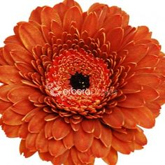 Brown Ruffle Gerbera Daisies, gerberas really stand out in the crowd of fresh flowers!