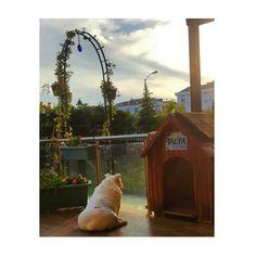 #Engilish bulldog. #puppy #bulldog #white