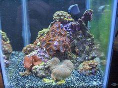 The Official Club Pico Thread - Page 5 - Pico Reefs - Nano-Reef Community Biorb Fish Tank, Oak Plywood, Cool Tanks, Retro Lighting, Palm Beach Gardens, New Community, Livestock, Club