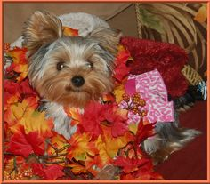 Ronnie is one yr old... beautiful Yorkie