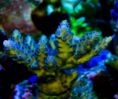 Acropora Nasuta, Purple On Green - reefs.com