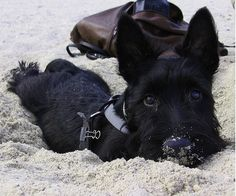 Scottie at the beach. My heart melts when I look at a Scottie.