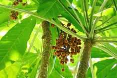 Acropogon megaphyllus Endangered Plants, Planting Flowers, Tropical