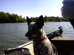 austrailian cattle dog