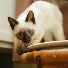 What Games and Exercise Siamese Cat like to do and play? Siamese Cat Breeders, Siamese Cats, Mystery, Exercise, Train, Play, Dogs, Fun, Animals