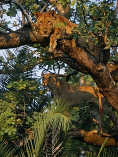 Kafue National Park, Lionesses in a Tree on the Busanga Plain, Zambia